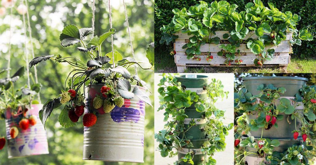 Как, независимо от сезона, можно завести клубничный сад на дому