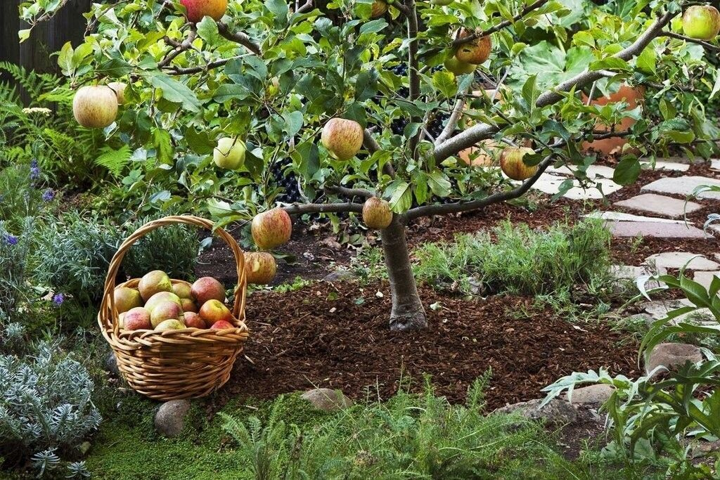 Яблони для сада на заднем дворе