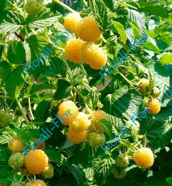 Малиновое дерево Желтый гигант