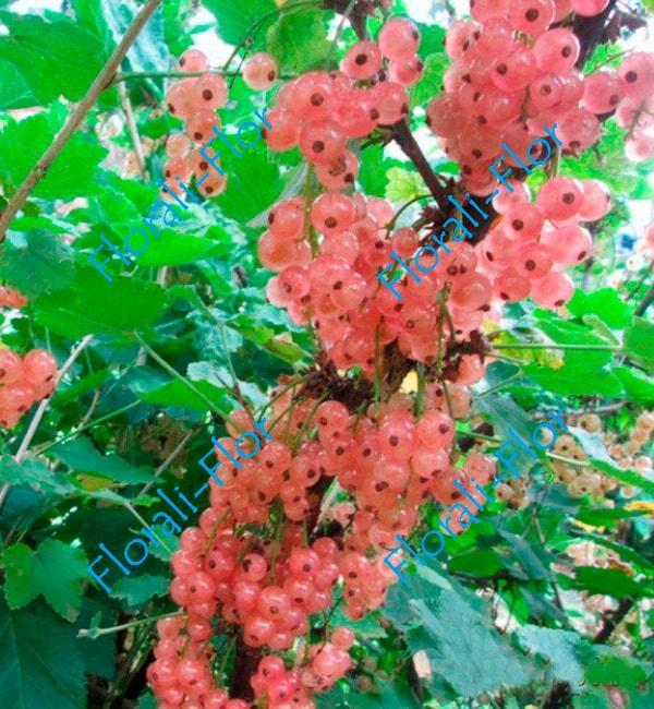 Смородина Розовый жемчуг