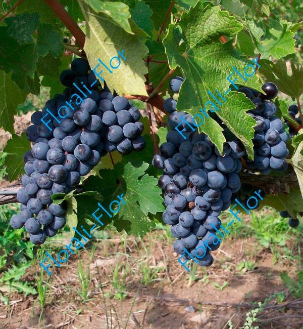 Виноград Кубань
