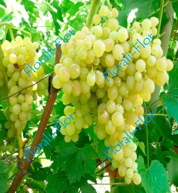 Виноград Кишмиш Белый