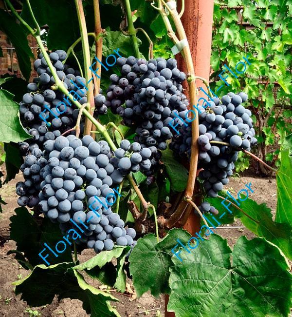 Виноград Кишмиш Черный Султан