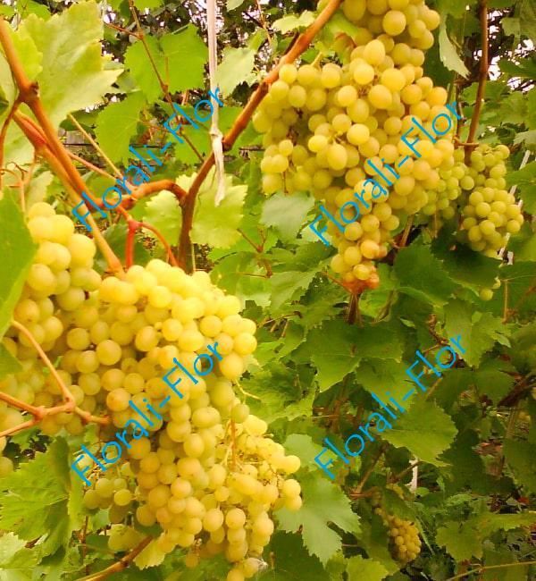 Виноград Алёша