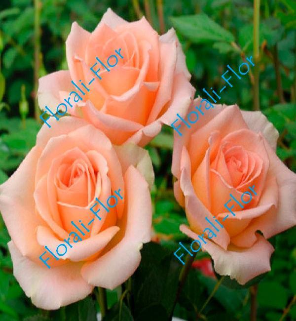 Роза Versilia
