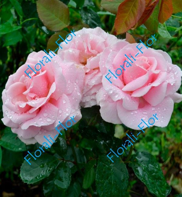 Роза Frederic-Mistral