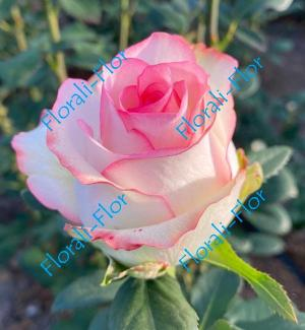 Роза Dolce-Vita