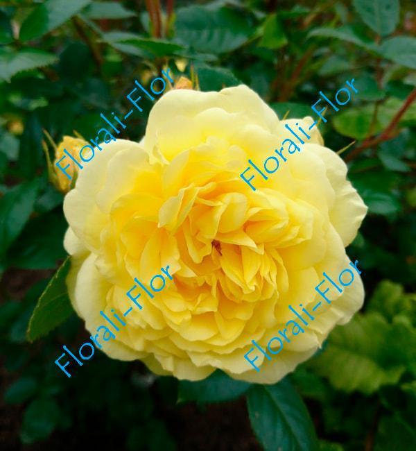 Роза yellow-meilove