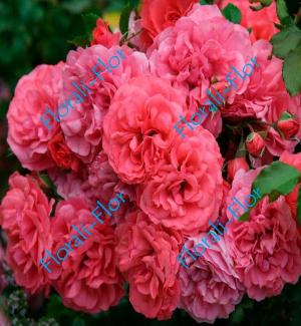 Роза Rosarium_Uetersen
