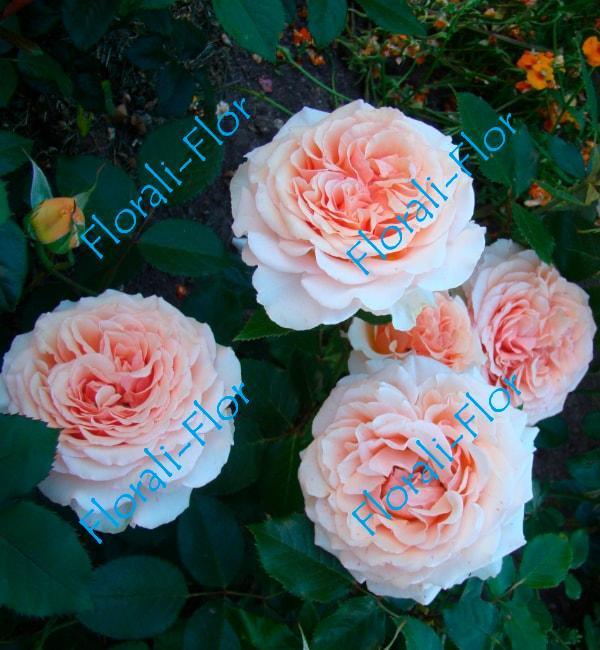 Роза Natasha-richardson