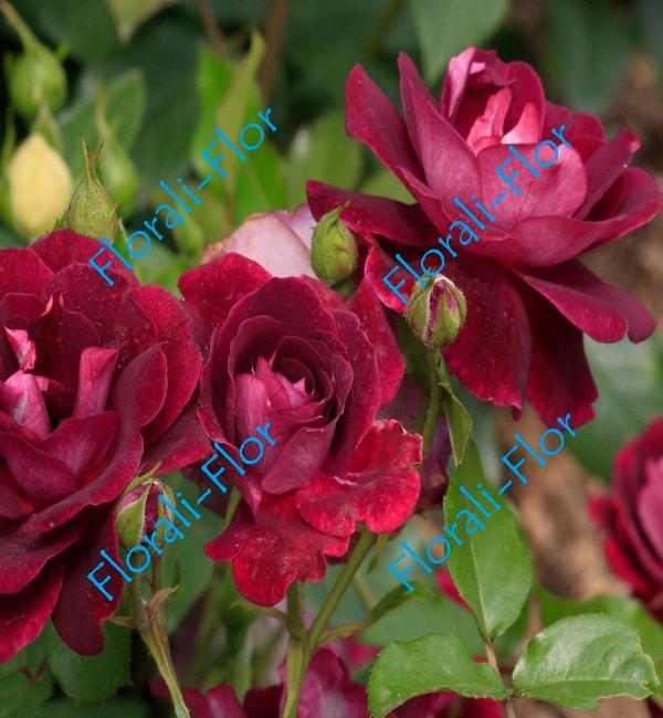 Роза Burgundy-Ice