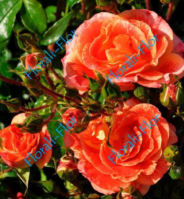 Роза Airbrush