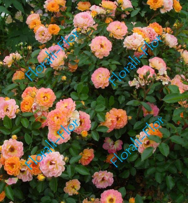 Роза Bessy