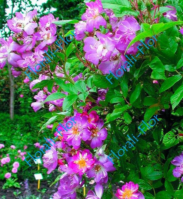 Роза Veilchenblau