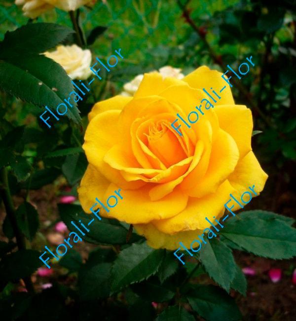 Роза Goldstern