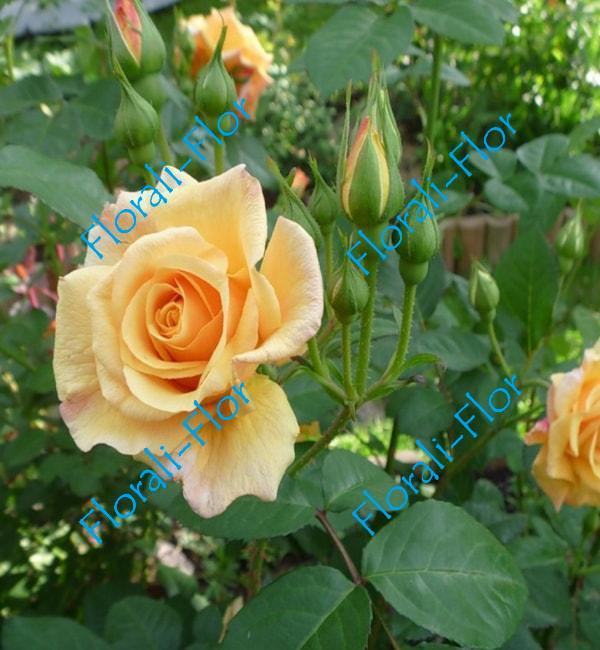 Роза Postillion
