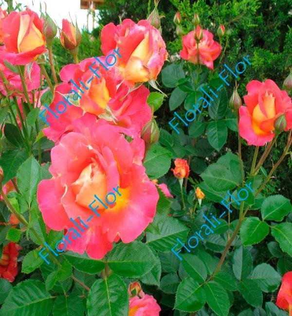 Роза Decor-Arlequin
