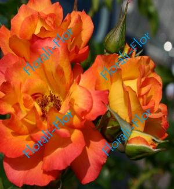 Роза Bonanza