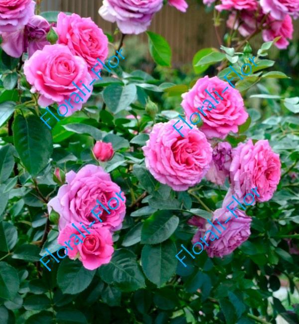 Роза Claire Marshall
