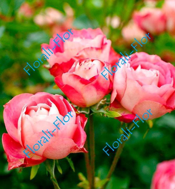 Роза Acropolis