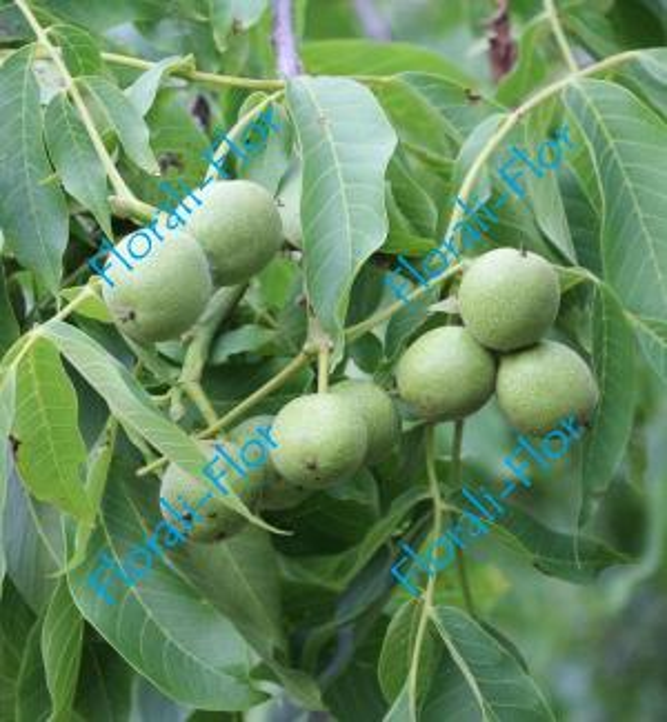 Грецкий орех Карлик-3