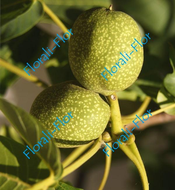 Грецкий орех Битюг