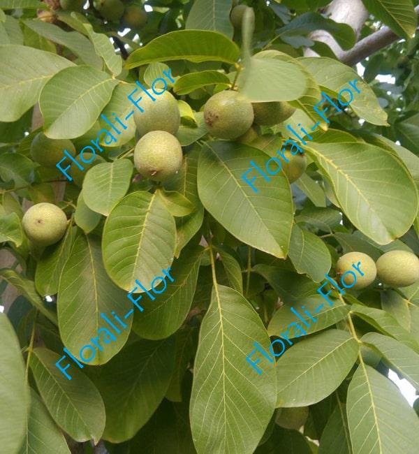 Грецкий орех Кореновский