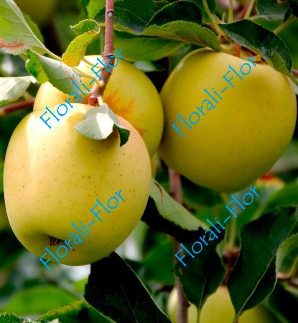 Яблоня Голден Делишес