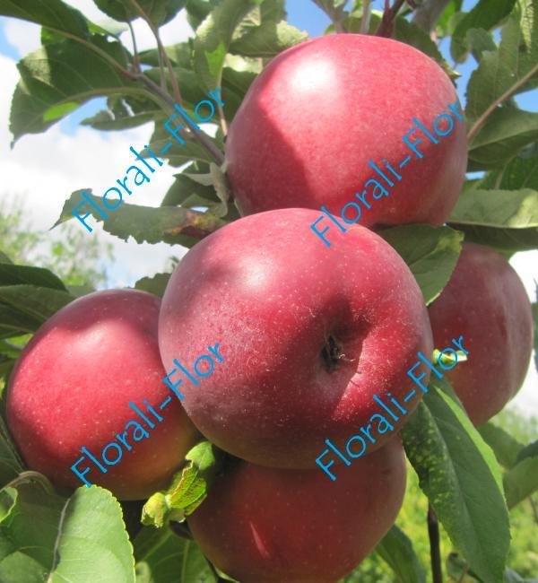 Яблоня Моди 4 года