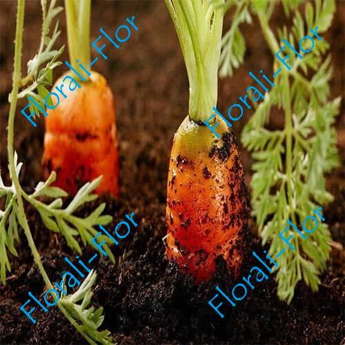 Морковь Канада F1 0,5 г(Голландия)