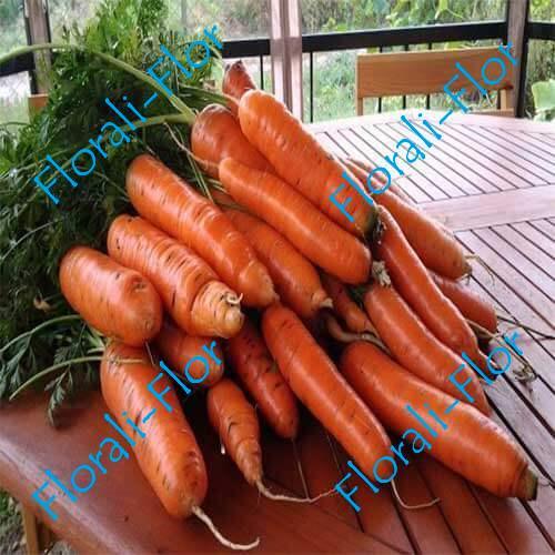 Морковь Самсон 0,5 г (Голландия)