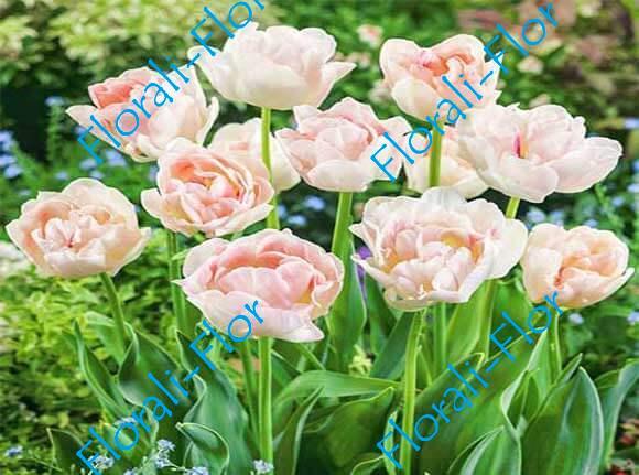 Тюльпан Анжелика 3шт.(лук.)