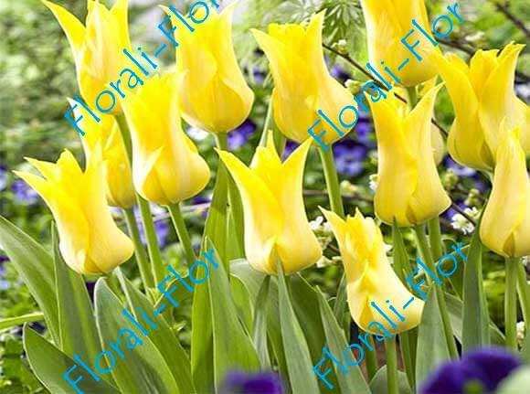 Тюльпан Баллада-Голд 3шт.(лук.)
