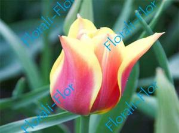 Тюльпан Баллада-Дрим 3шт.(лук.)