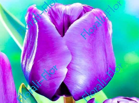 Тюльпан Блю-Эмейбл 3шт.(лук.)