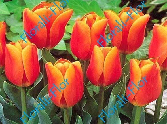 Тюльпан Бон-Бини 3шт.(лук.)