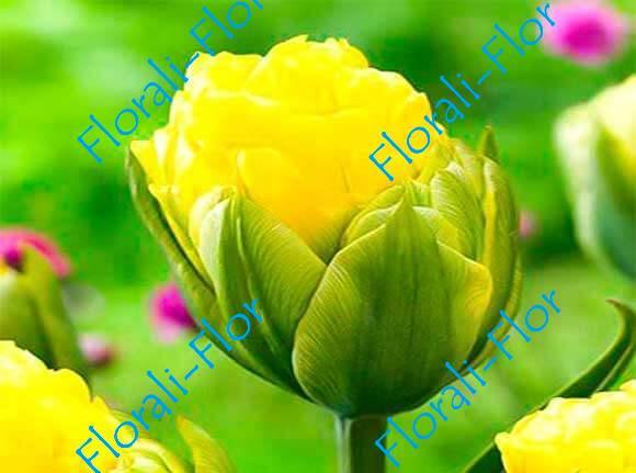 Тюльпан Голд-Февер 3шт.(лук.)