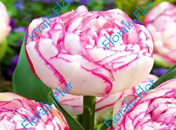 Тюльпан Дабл-Тач 3шт.(лук.)