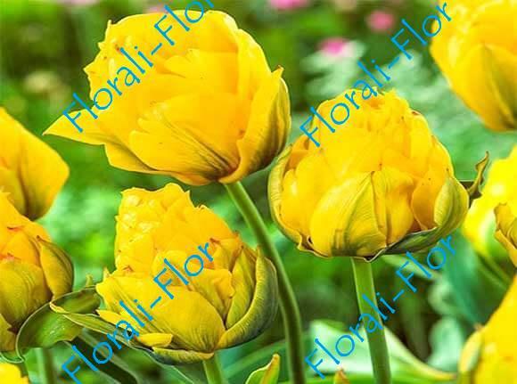 Тюльпан Монте-Пион 3шт.(лук.)