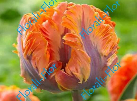 Тюльпан Оранж-Рококо 3шт.(лук.)