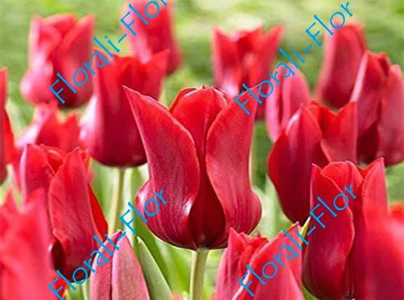 Тюльпан Ред-шайн 3шт.(лук.)