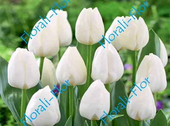 Тюльпан Роял-Вирджин 3шт.(лук.)