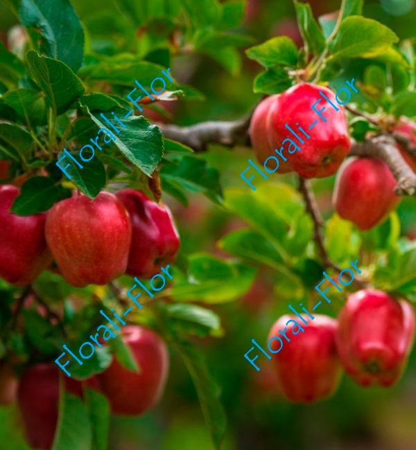 Яблоня Эра