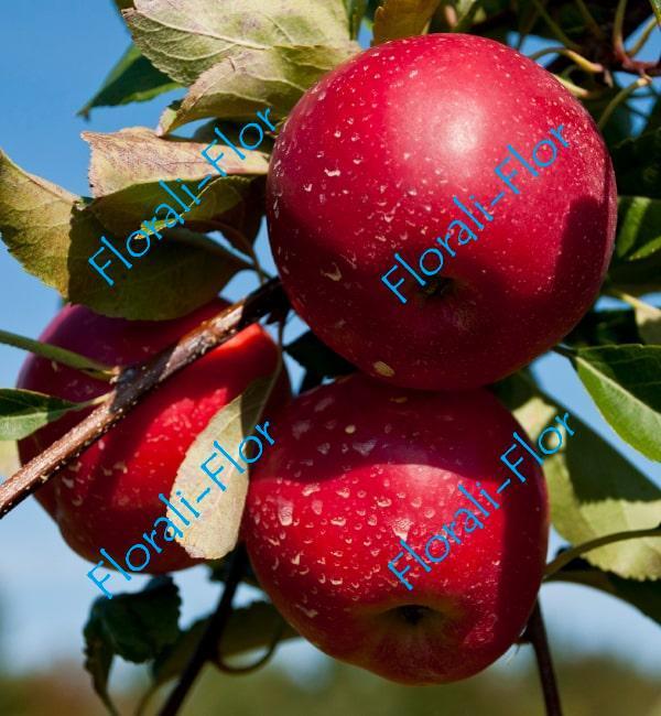 Яблоня Винерпо